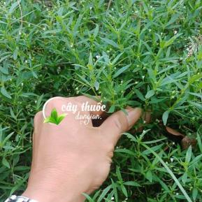 Tác dụng của bạch hoa xà thiệt thảo và tác dụng của bạch hoa xà đuôi công