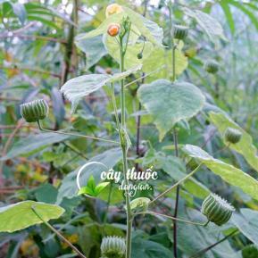 Cây cối xay và công dụng tuyệt vời điều trị xương khớp, thanh nhiệt, giải độc